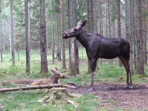 Schwedischer Elch